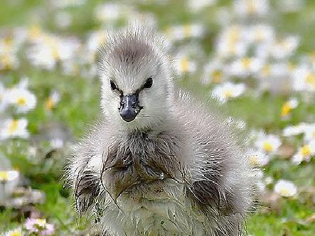 Can you name this endearing baby bird? Answer: A barnacle gosling.