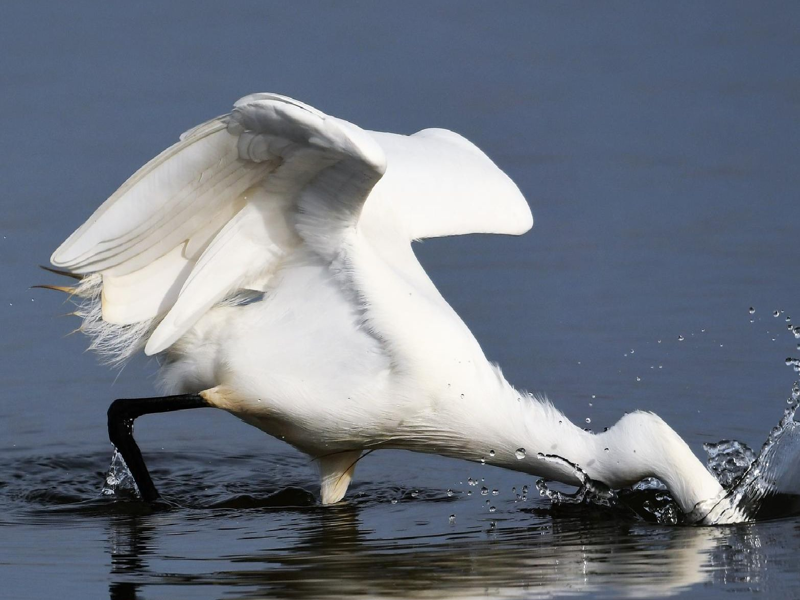 Allan Hickman captured this incredible shot of a little egret catching its lunch.