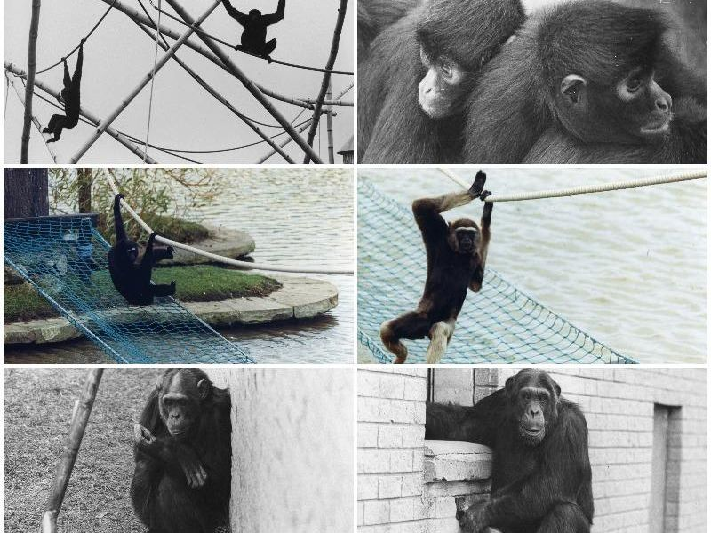 Some of Blackpool Zoo's favourite monkeys and apes