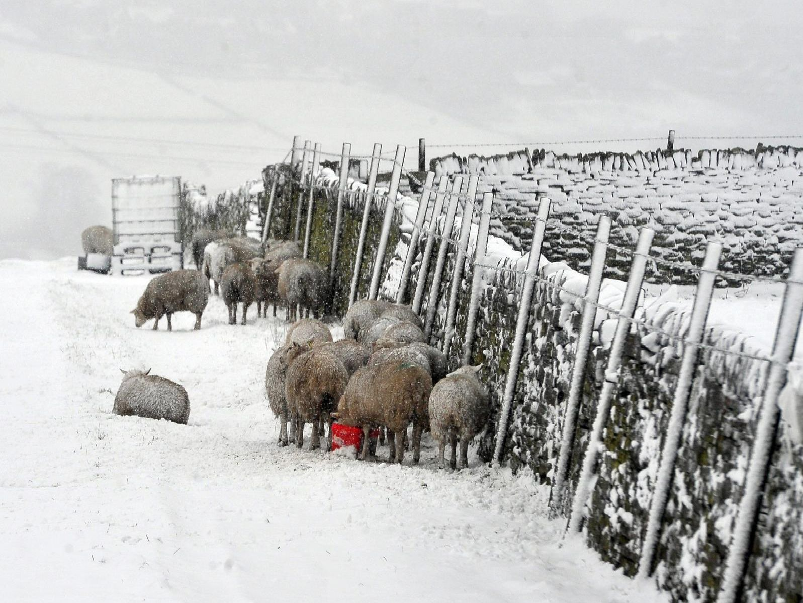 Sheep huddled together in Queensbury
