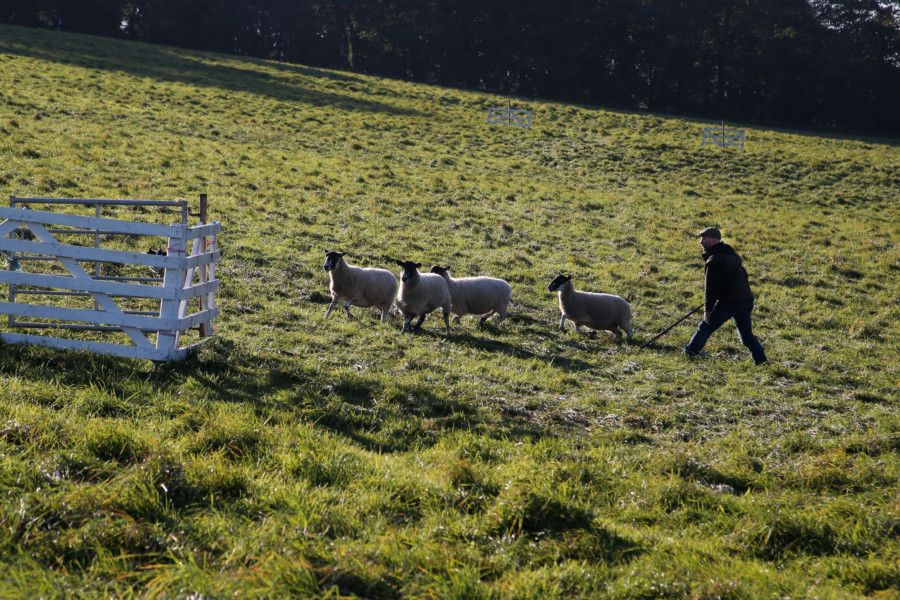 Oliver Walton works the sheep towards the pen.