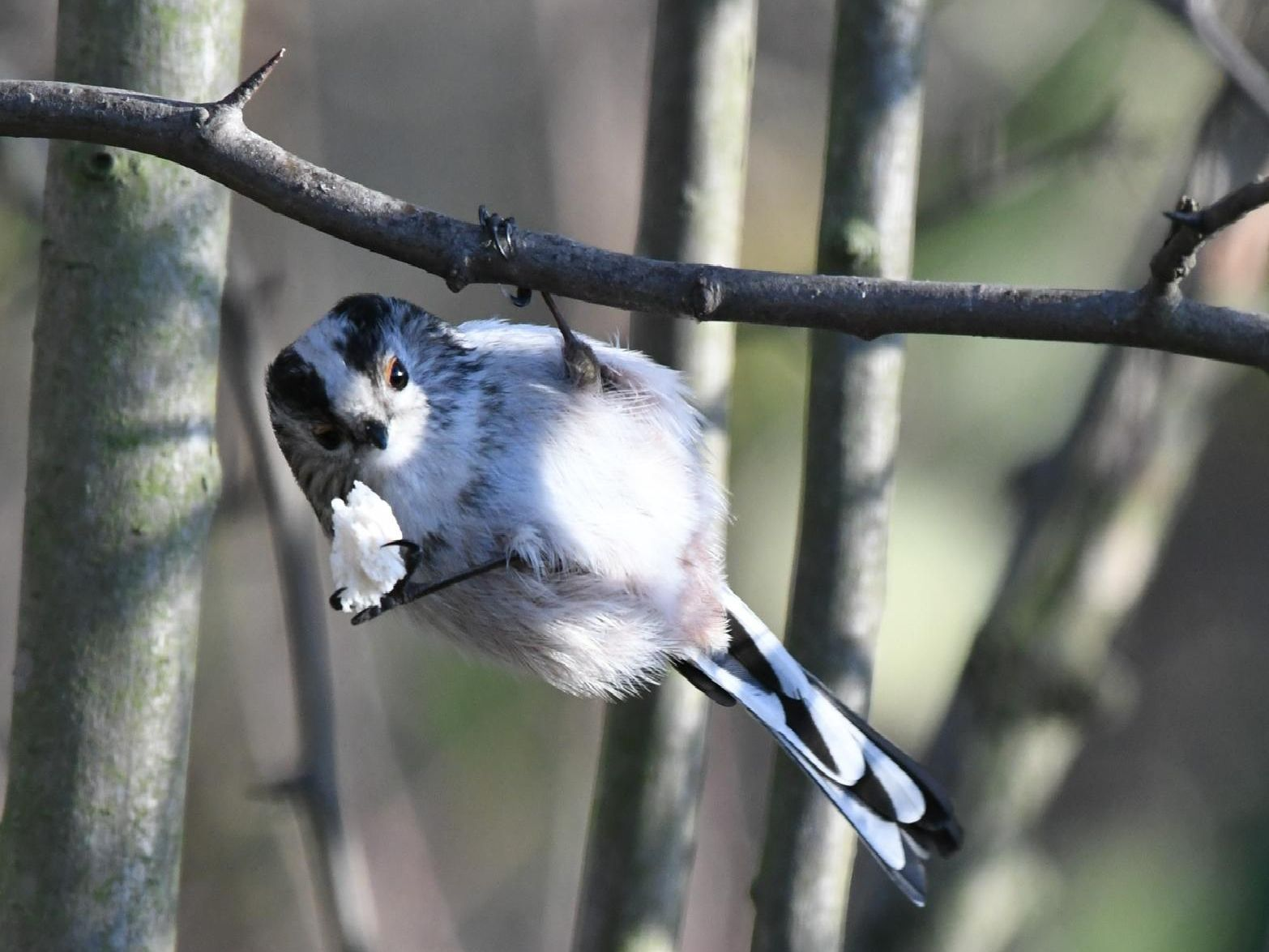 Do you know what this cute little acrobat is called?'Answer: A long-tailed tit.