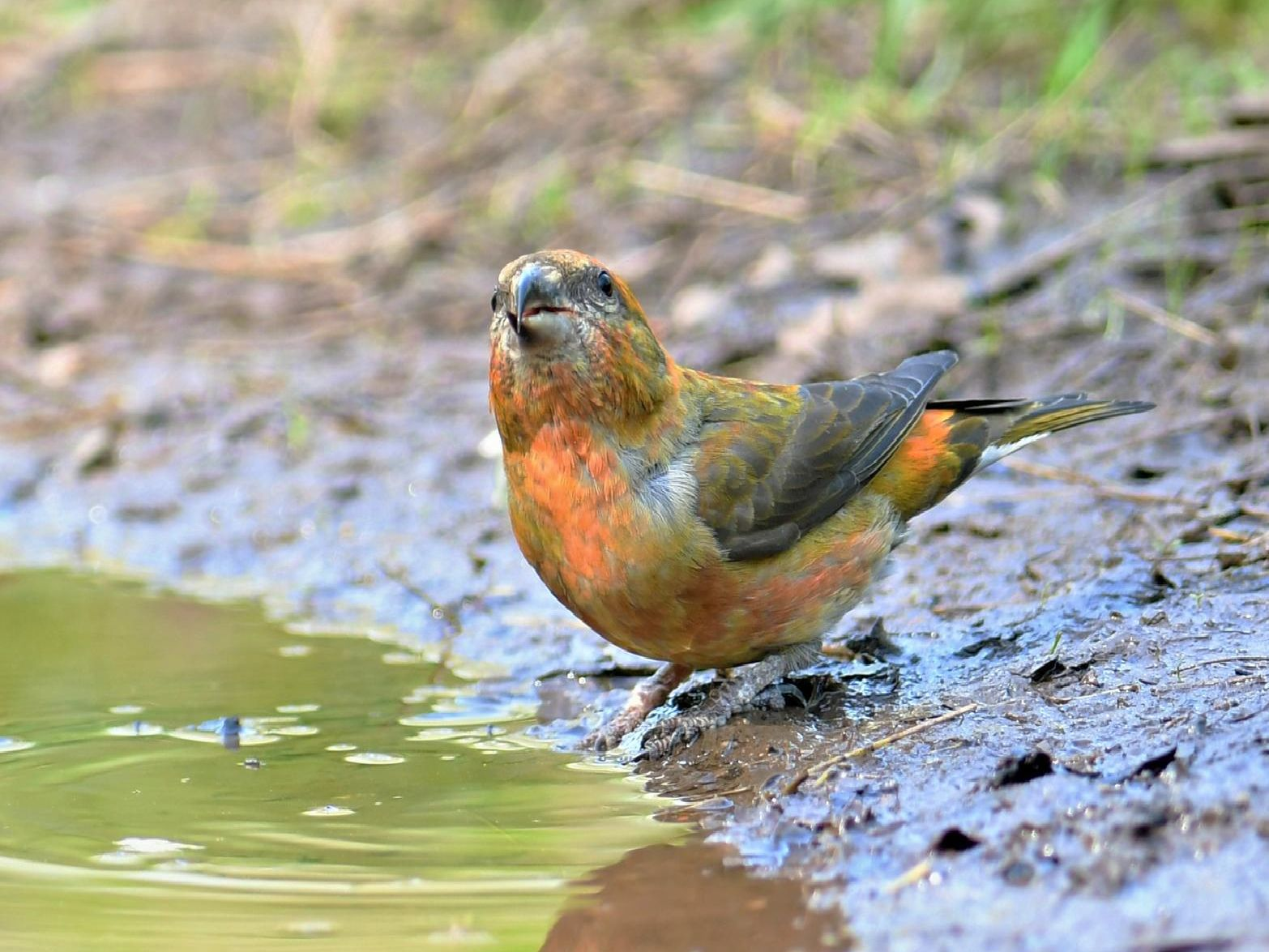 This beautiful bird is enjoying a drink. Do you know what it is? Answer: A male crossbill.