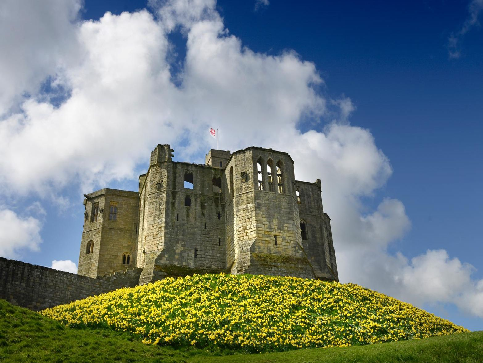 An iconic Northumberland image of daffodils at Warkworth Castle. Pictures by Jane Coltman