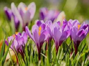 The autumn weather forces crocus blooms out through the fallen leaves among the lawn and their upright, cup-shaped flowers look great in pots and borders. ''Still, occasionally they can be spoiled by autumn weather so plant them beneath trees and shrubs where they will be protected from heavy rains.