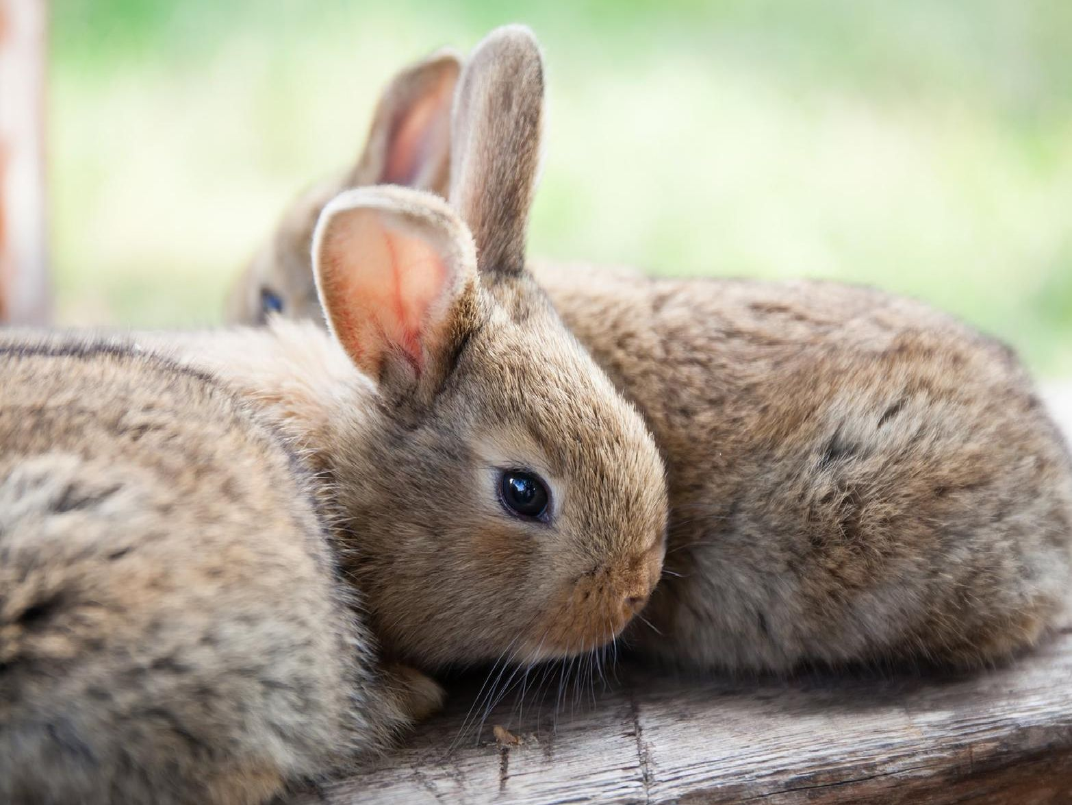 The campaign Rabbit Awareness Weeks runs from Saturday June 1 to Sunday June 9