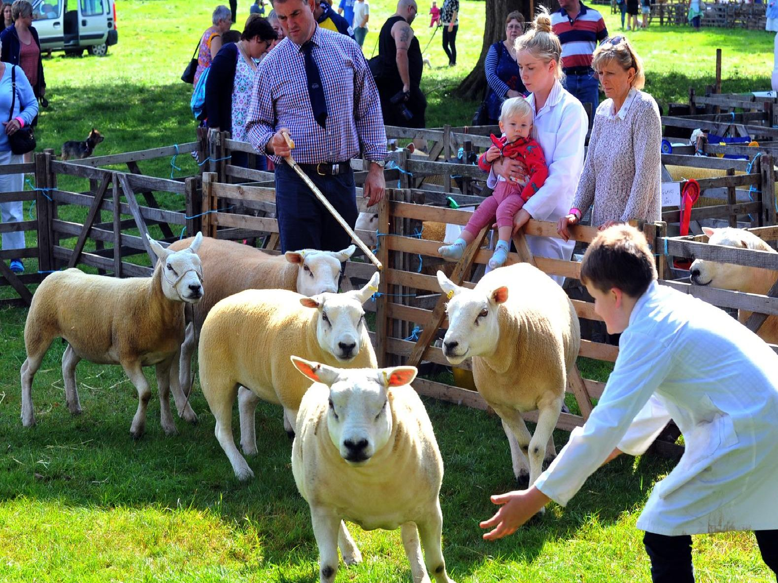 Trying to catch the Texel sheep in the judging ring.