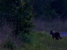 Is this a wild cat roaming St Aidans? (photo by John Pearson)