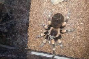The Mexican Red Knee tarantula is on the loose in Leeds. Have you seen 'Jimmy'?