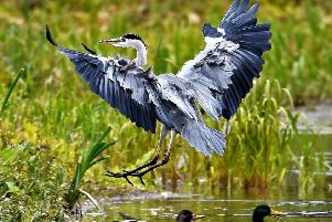 Allan Hickman captured this magnificent shot of a heron preparing to land.
