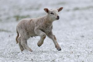 Lamb playing in snow'Photo: PA
