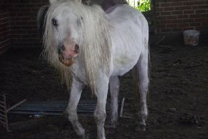 The mistreatment of Tiddles the horse was the subject of an RSPCA investigation