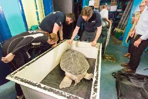 Phoenix the turtle arrives at Sea Life. Picture by Chris Bull