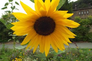 The joy of sunflowers