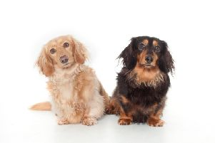 Dachshunds Louis and Rudy are the faces of a national social media campaign. (s)