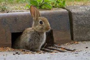 A wild rabbit, which can be spotted on Lancashire's roads as part of the Mammals on Roads survey, run by the Peoples Trust for Endangered Species