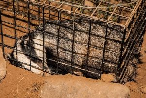 Derbyshire Wildlife Trust leaders fear a widespread badger cull may come to the county, despite the success of their vaccination programme. (Photos: Jason Skeen)