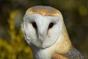 A stunning close-up of a barn owl snapped by Mandy Pickering.