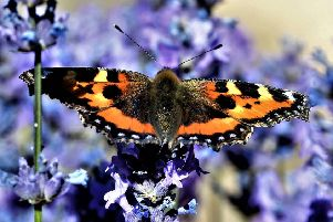 A tortoiseshell butterfly resting on a lavender bush. This stunning close-up was captured by Allan Hickman.