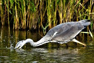 Allan Hickman captured this brilliant action shot of a heron in the process of catching lunch.