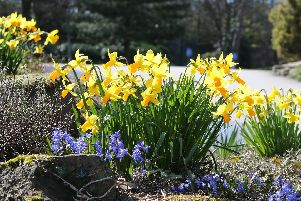 Daffodils in Queen's Park, Chesterfield