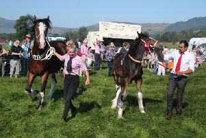 Winners of the shire horse and foal parade around the show ring.