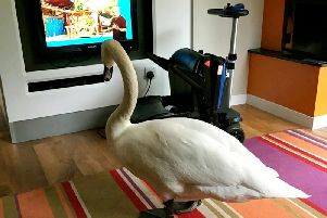 The big swan watching CBeebies. Picture: SWNS.