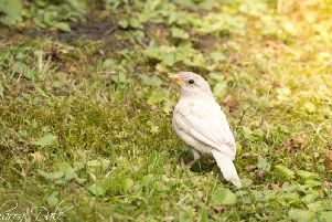 Sharon Dale. This beautiful sparrow has leucism, a lack of melanin and other'pigments in its feathers.