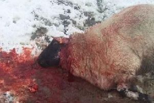 The shocking image of one of Megan Needham's sheep after it was attacked by a dog