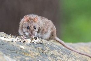 Photo of a rat for illustrative purposes.