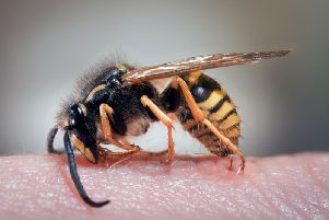 Wasps drunk on cider are going on stinging rampages across the UK.