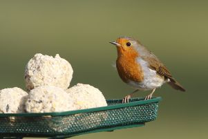 RSPB bird care product. Fruity suet balls on mesh tray European Robin Erithacus rubecula