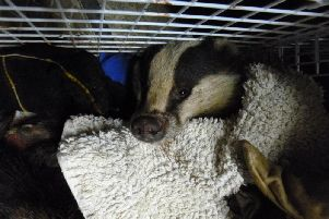 Jack Riley,from Fleetwood, has been handed a suspended prison sentence after pleading guilty to badger digging and baiting. Pic: RSPCA