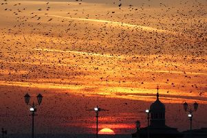 Starlings around Blackpool Prom. Photo: Ian McGawley