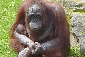 Vicky with her baby orangutan at Blackpool Zoo