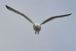 A ferociously protective seagull prevented Knott End pensioner Roy Pickard from leaving his house after its two chicks ended up on the canopy directly above his front door.