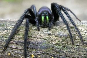 The distinctive green-fanged spider.