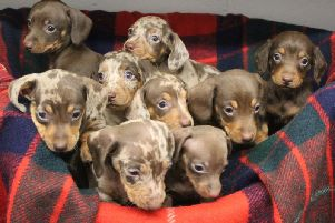 The puppies in Halifax on the lookout for new homes (Picture courtesy of RSPCA Halifax, Huddersfield, Bradford andDistrict Branch)