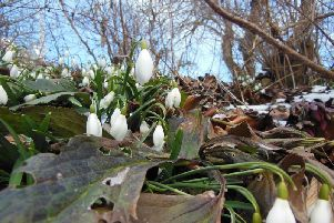 Snowdrops: Signs that spring is here