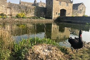 Markenfields moat has been patrolled by a pair of black swans since Lady Deirdre and the late Lord Grantley completed their phase of the halls restoration in the early 1980s.