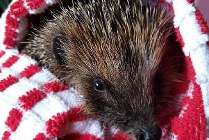 Injured hedgehog Scarlett