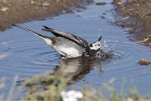 Splish splash, I was taking a bath...Stewart Robertson captured this fabulous snap of a pied wagtail cooling off in the heat.