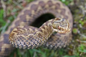 The common European viper (also known as adders) can be found right across mainland UK, is usually about two foot long and has a venomous bite.
