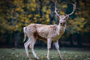 At this time of year, deer collisions peak as many of the animals cross roads seeking new territories.