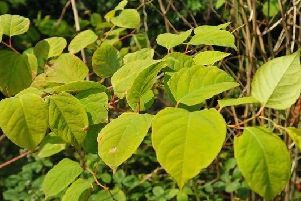 Japanese knotweed is one of the plant species that the dedicated team will be looking to tackle