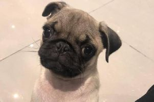 The pug puppy was snatched during a burglary, with thieves also stealing the couple's BMW M2 car. Pic: David and Natalie Taylor