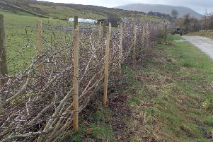 A re-layered hedge in the Forest of Bowland