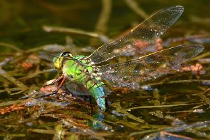 An Emperor dragonfly laying its eggs in the water depicts nature at its best. An incredible snap taken by Nick Rhodes.