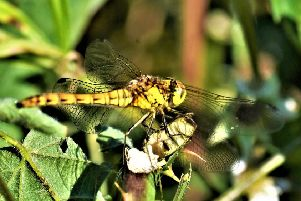 A striking shot of a hawker dragonfly perched on the rushes snapped by Allan Hickman.