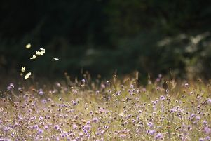 WINNER: The small white was the leader of the 2018 Big Butterfly Count.